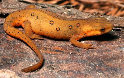 salamandra de manchas rojas Notophthalmus viridescens