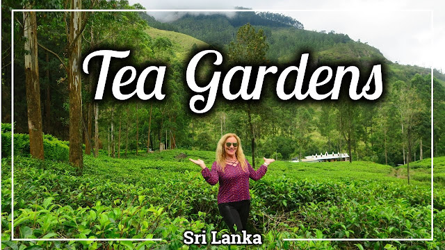 tea gardens no sri lanka