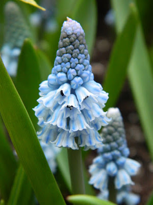 Muscari azureum Azure grape hyacinths at the Allan Gardens Conservatory 2016 Spring Flower Show by Paul Jung Gardening Services