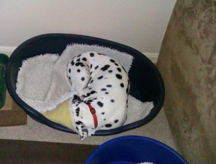 Marble, dalmatian, dog