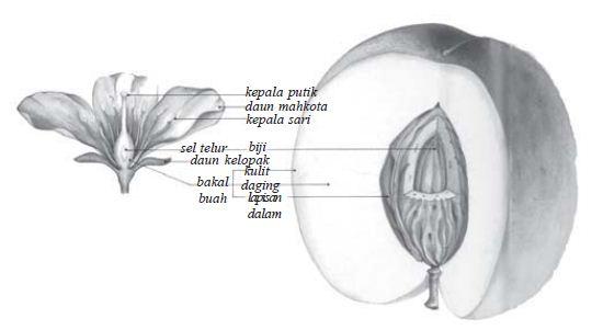 Pada bunga yang telah mengalami penyerbukan akan diikuti proses pembuatan sehingga terbentuk buah