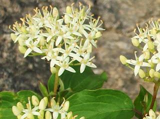 Cornejo(Cornus sanguinea)