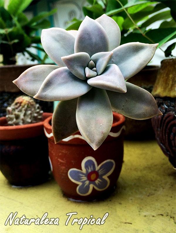 Planta crasa creciendo en pequeñas macetas de barro decoradas con pintura