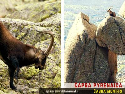 Capra pyrenaica, Cabra Montés, viven en lo más escarpado de montañas y sierras, prefiere zonas de alta montaña.