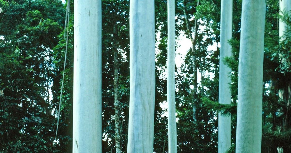 Meet A Tree: Meet The Grand Eucalyptus