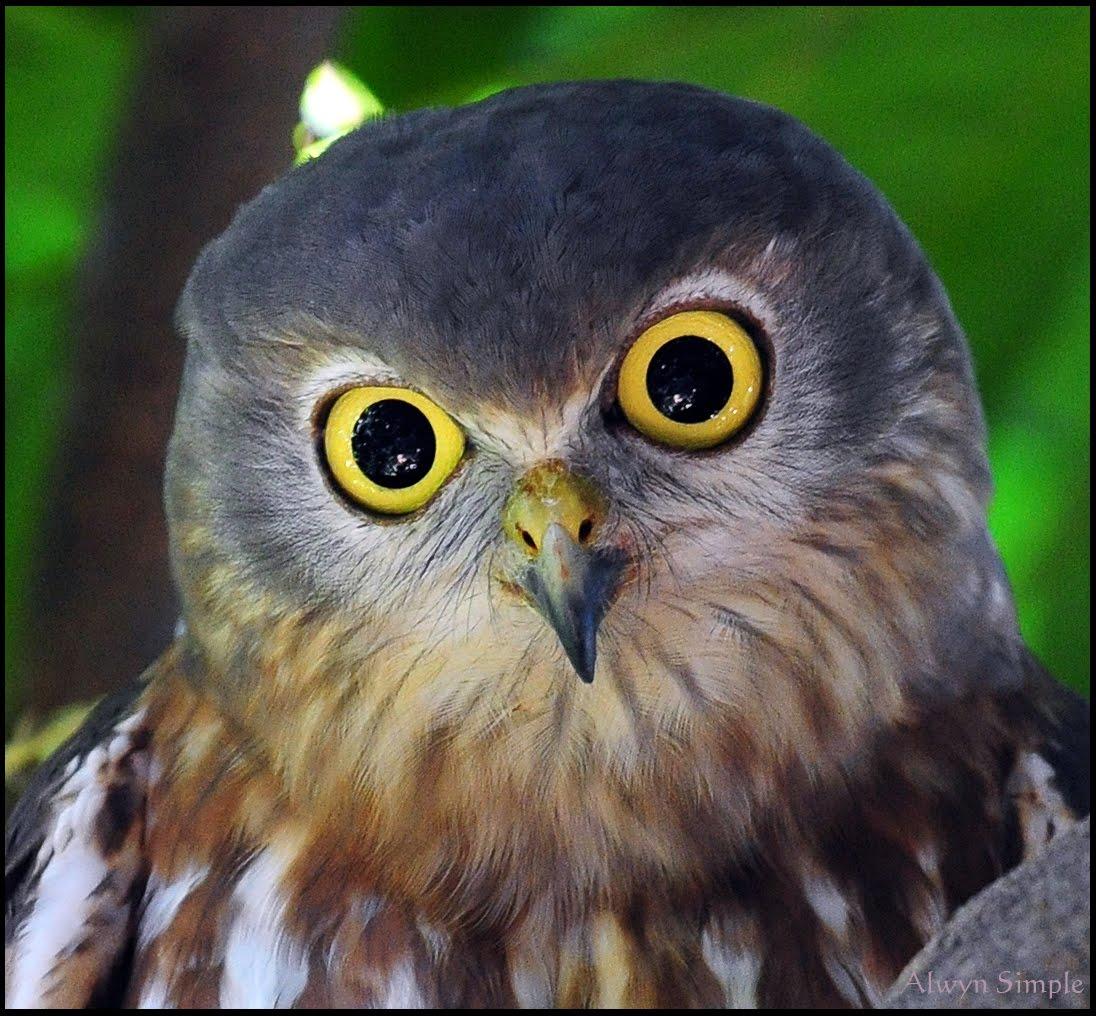 Carnivores and Super Predators: Owls Pics