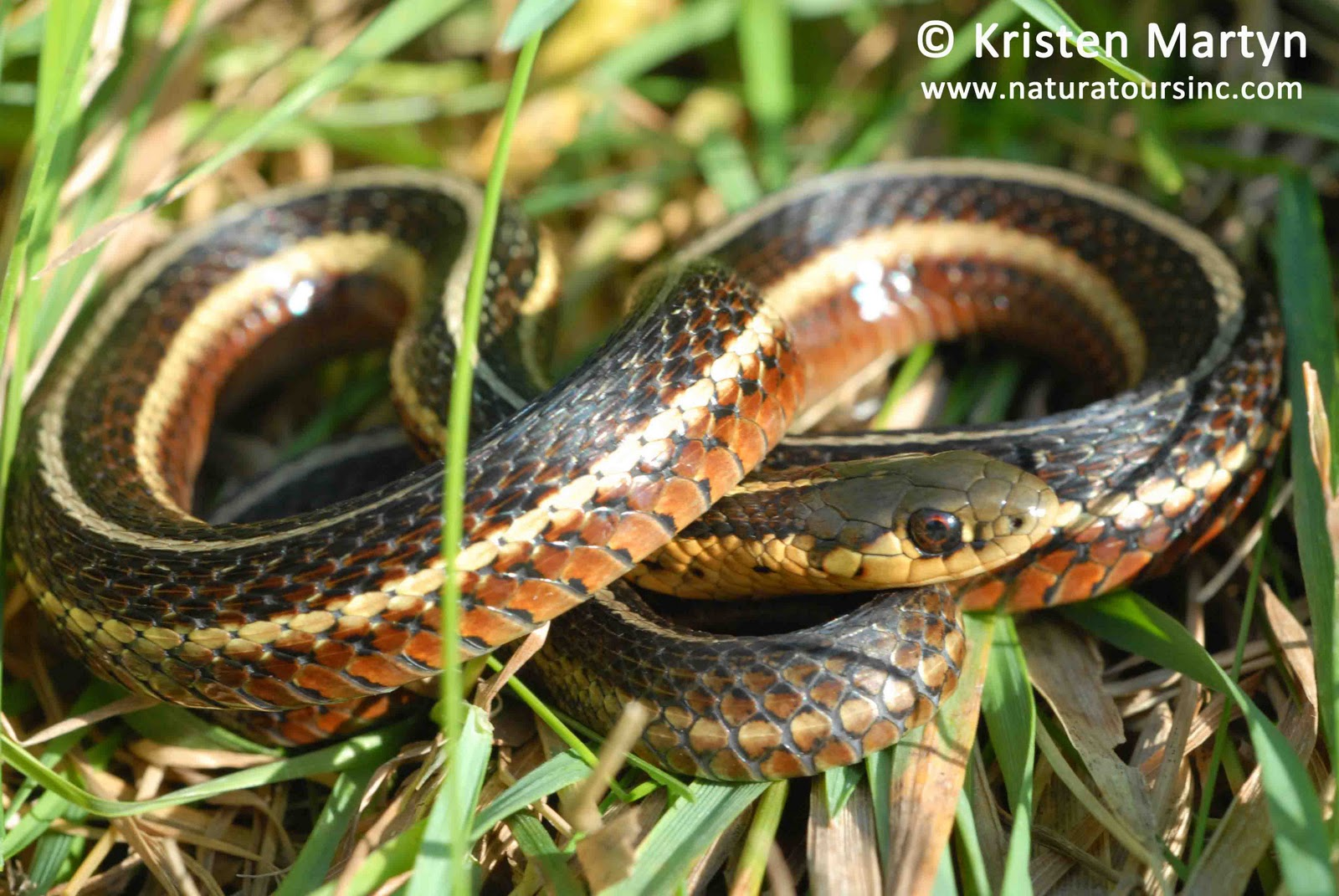 SAR Snakes - Nature Notes Blog