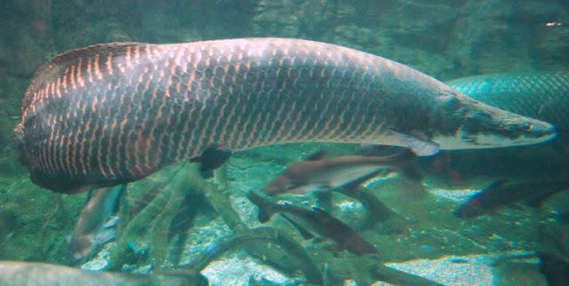 Dunia Ikan Hias - ARWANA ARAPAIMA GIGAS