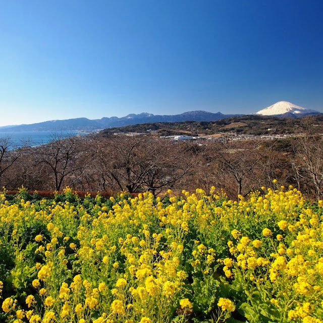 二宮 吾妻山公園 菜の花 富士山