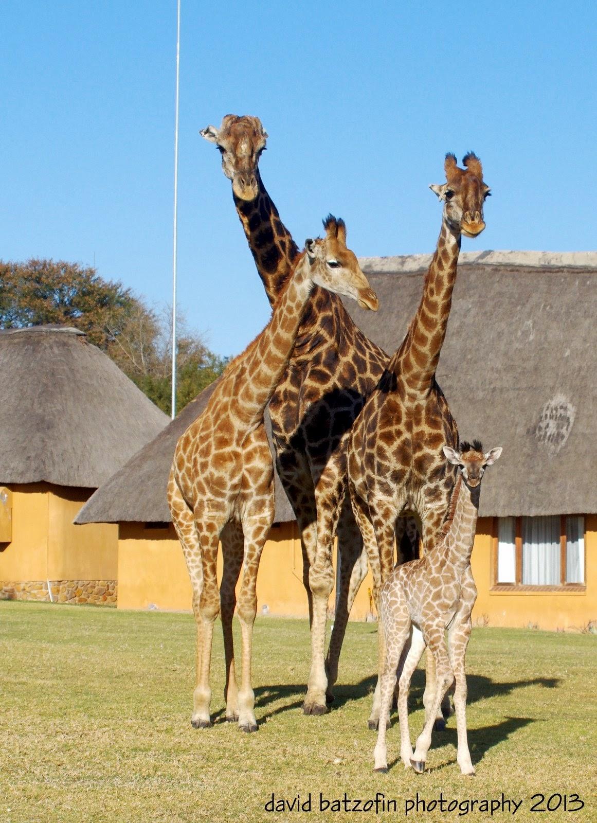 Картинки жирафов настоящих, учителю