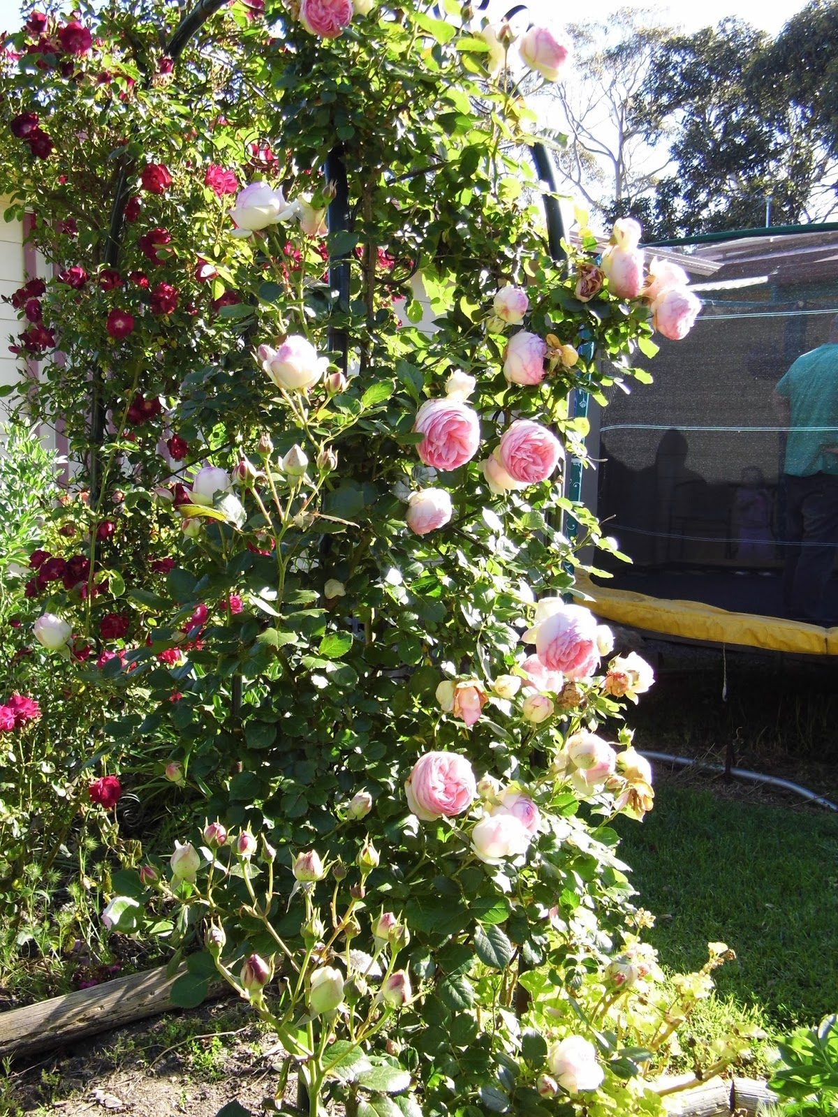 The climbing pierre de ronsard on the left is a gorgeous romantic rose it always comes out in an abundance of beautiful flowers