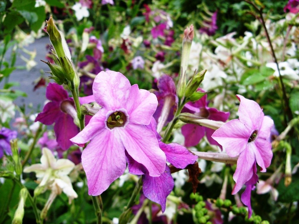 Фото цветы табака
