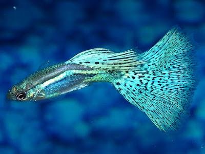 jenis ikan hias guppy lucu dan indah
