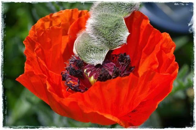 Gartenblog Topfgartenwelt Mohn: Mohnblüte