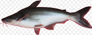 Jenis Ikan Air Tawar Konsumsi