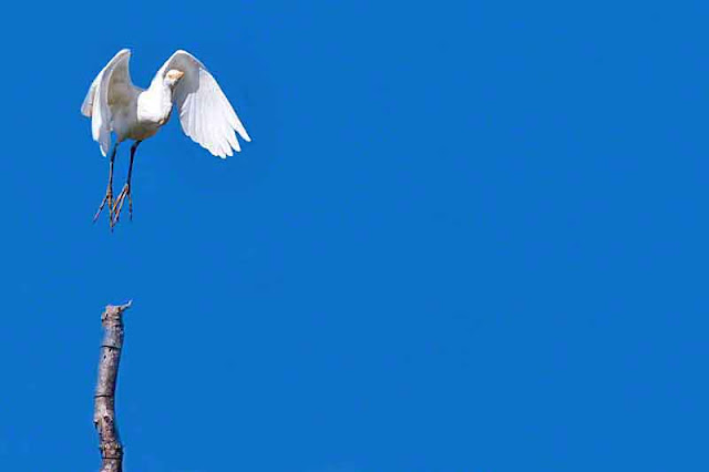White Egret launching to fly