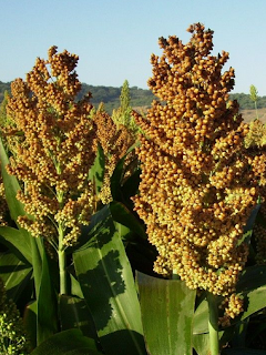 https://fr.wikipedia.org/wiki/Sorgo_commun