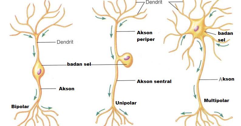 Radar Danger: Macam-macam Neuron