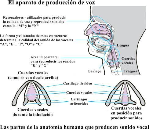 Sistema respiratorio: partes, órganos y funciones del aparato respiratorio humano