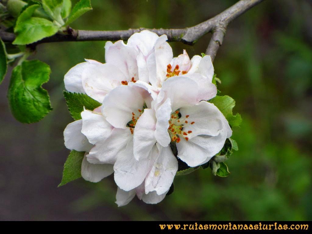 Senda Verde Camocha - Pico Sol - Piles: Manzano en flor