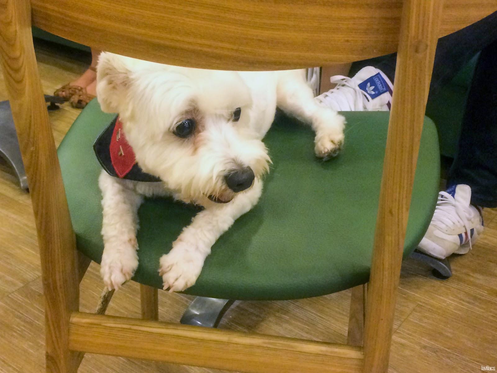 Seoul, Korea - Summer Study Abroad 2014 - Bauhaus Dog Cafe comfy dog