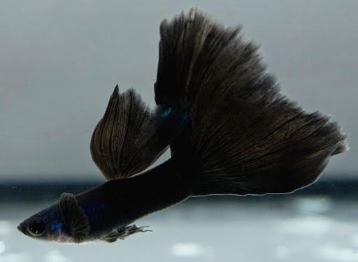 Ikan Guppy Black Moscow - Cara budidaya Ikan