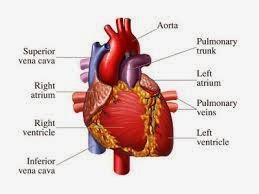 Obat Tradisional Jantung Bocor