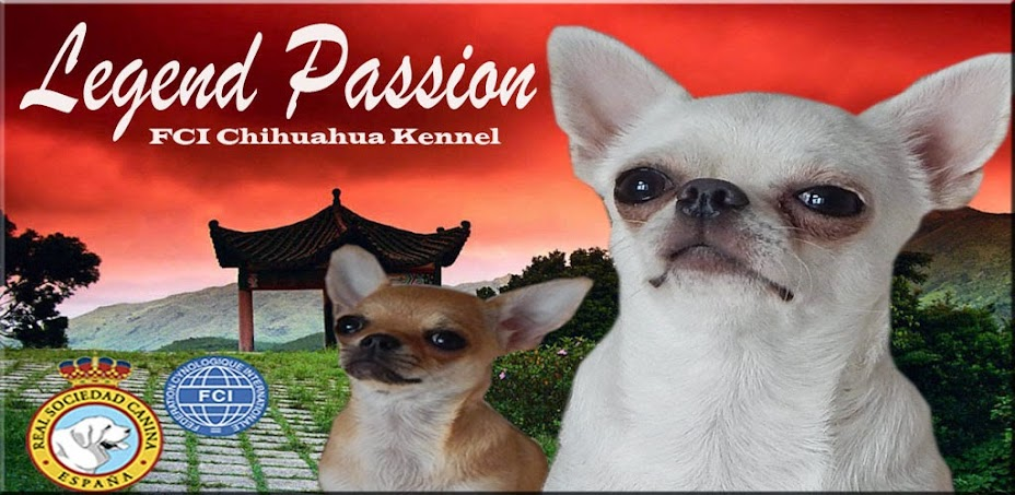Chihuahuas Legend Passion