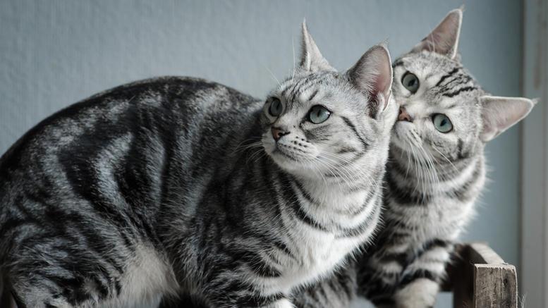 Δεύτερη γάτα στο σπίτι;