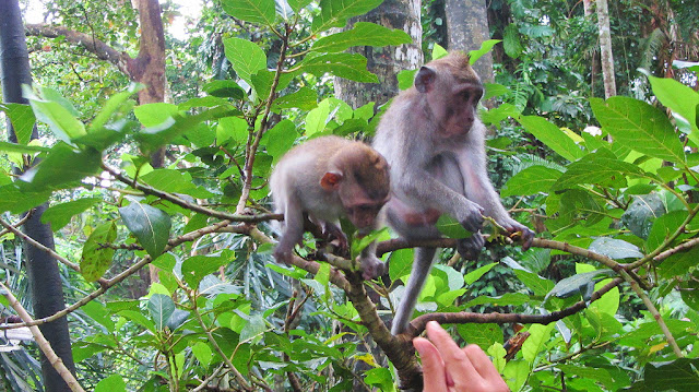 monyet di ubud monkey forest