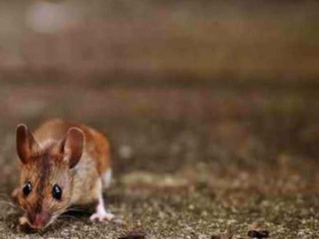 Giant mice threaten rare seabirds on remote British island