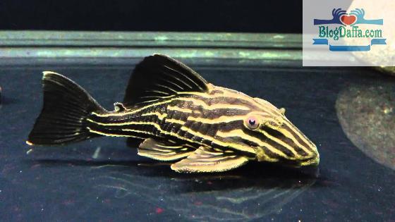 Ikan sapu sapu hias Golden Royal Line