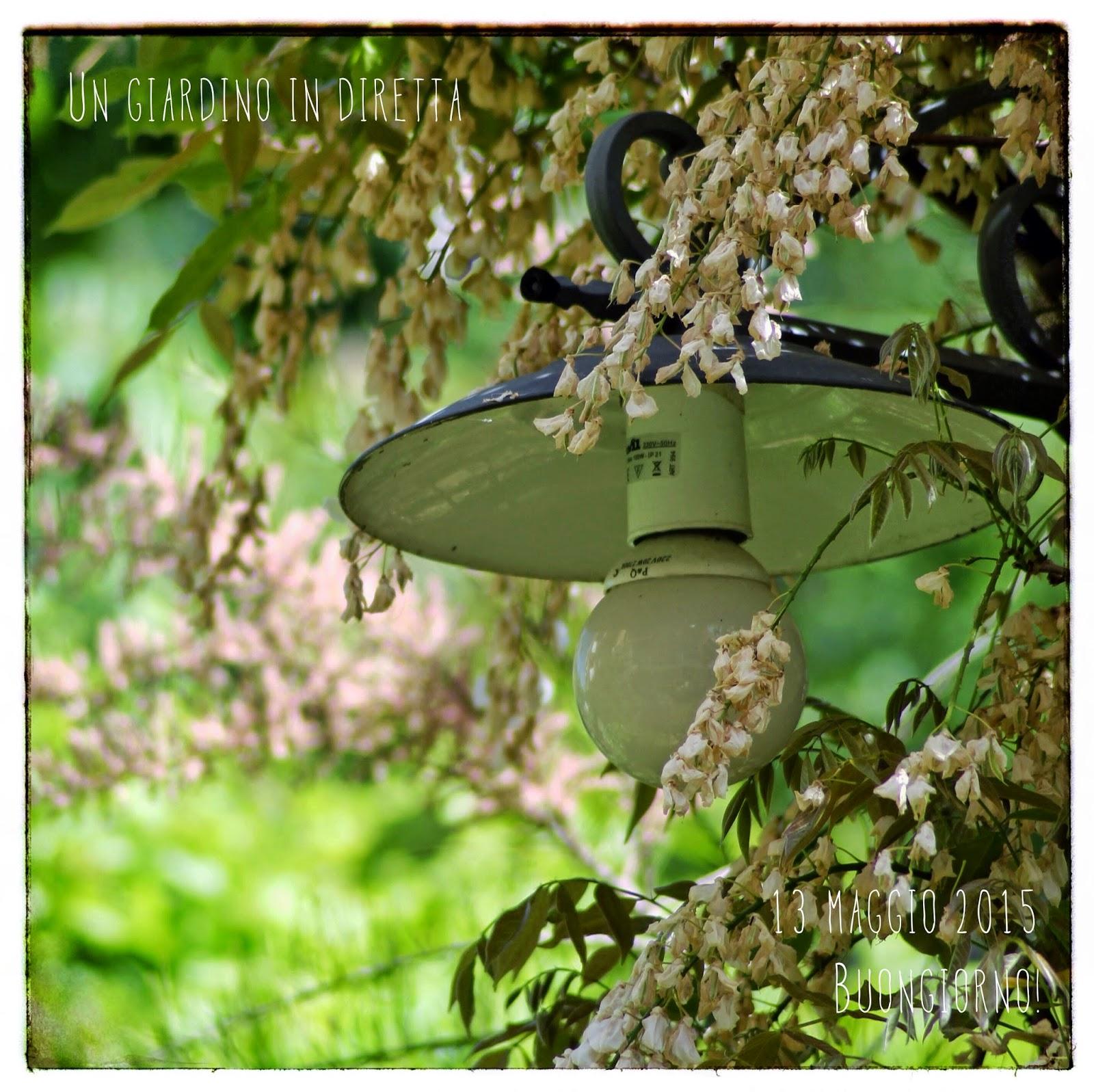 Quando Potare Il Glicine glicine (wisteria sinensis 'alba'), buongiorno giardinieri