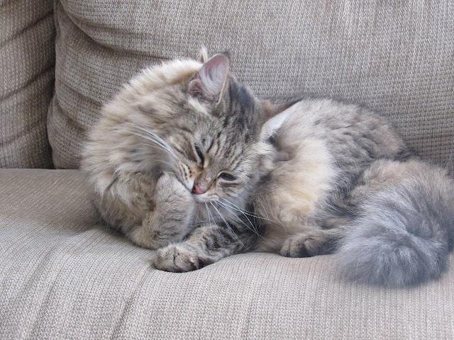 tüy yumağı kusan kedi