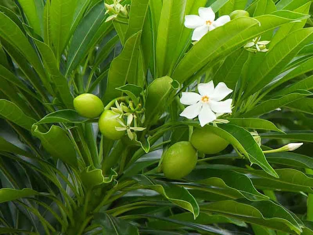 flowers, leaves and fruits of poisonous plant