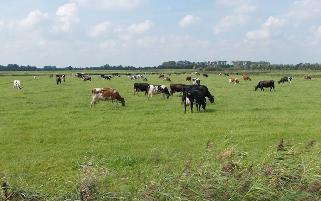 Zwarte en roodbonte koeien in het weiland