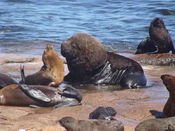 Massive sea lion, fur seal hunting in the Patagonian coasts is altering Southern Atlantic Ocean ecosystems