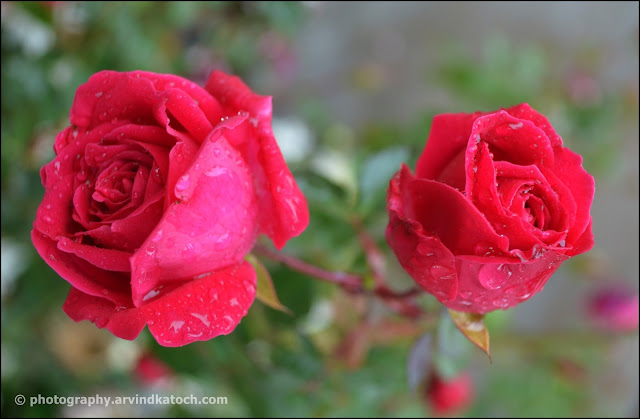 wet roses, roses, rose, beautiful,