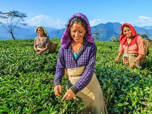 Darjeeling tea worker bonus