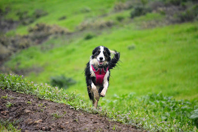 Border collie wearing Ruffwear Front Range harness in rain.