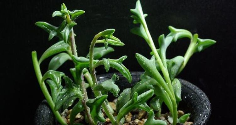 Lovely Succulents Senecio Peregrinus, Whose Leaves Look Like Small Dolphins