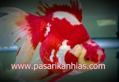 Ikan hias Mas Koki Ryukin