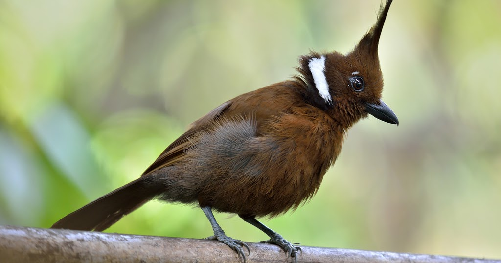 dahsyatnya suara burung cililin gacor dengan durasi panjang
