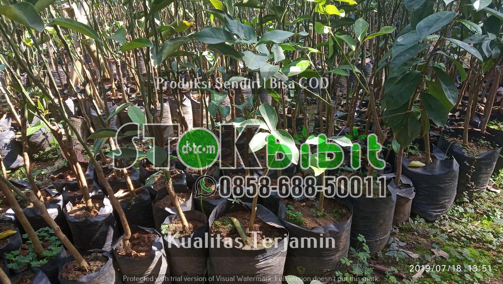 Bibit Durian Bawor Kaki 3 dan Keunggulan Bibit Durian Bawor Kaki 3     Grosir     Grosir