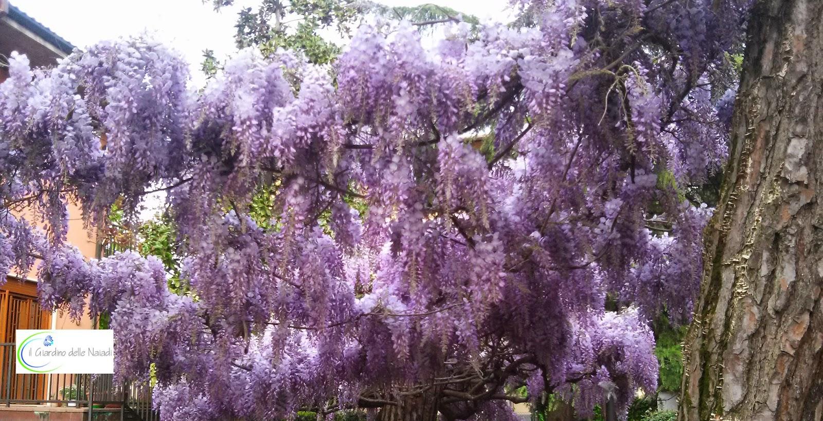 Quando Potare Il Glicine il giardino delle naiadi: e se il glicine non fiorisce?