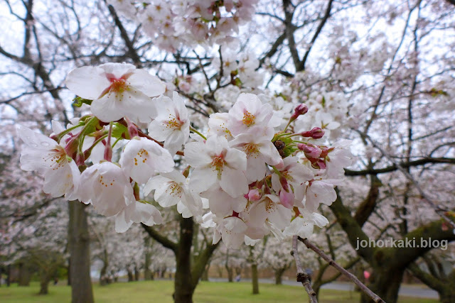 Cherry-Blossoms-High-Park-Toronto-Spring-2017-🌸