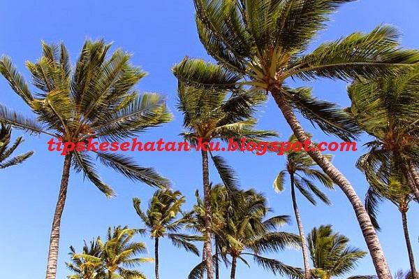 1009 Khasiat dan Manfaat Pohon Kelapa, Seluruh Bagian Tanamannya