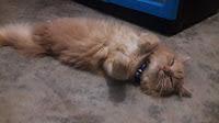 Kucing imut kalo tidur luxu