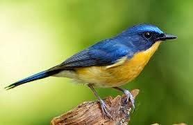 Gambar Burung Tledekan Foto Burung Kicau