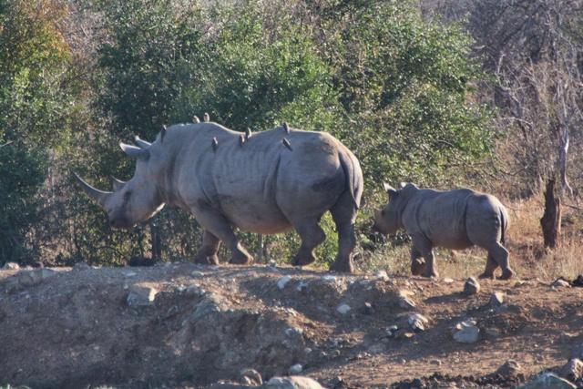 Rinocerontes blancos en Hlane National Park